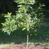 Авокадо вирощування в домашніх умовах відео