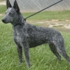 Австралійська куцохвоста пастуша собака: невтомний працівник