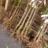 Босоногі дерева і кущі