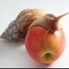 Чим годувати гігантського равлика