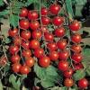 Черрі томати відомі сорти і їх агротехніка?