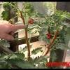 Формування кущів помідорів (томатів)