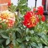 Жоржини - вирощування і догляд, фото квітів