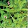 Горець шорсткий (polygonum scabrum moench)