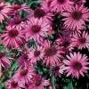 Ехінацея пурпурна - природний антибіотик