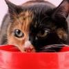 Як лікувати печінку у кота