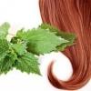 Як застосовувати відвар кропиви для волосся для ополіскування. Рецепти масок