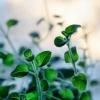 Які лікарські трави знижують тиск
