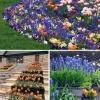 Календар цвітіння бульбових і цибулинних рослин