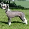 Китайська чубата собачка (ксолойтцкуінтлі, китайська гола собачка)