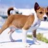 Клички імена собак для басенджи