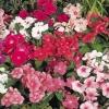 Красиві квіти катарантус: вирощування і догляд
