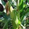 Кукурудза та її властивості