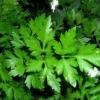Маски для обличчя з петрушки: зелена магія природи