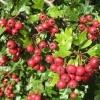 Настоянка глоду в домашніх умовах - з квіток або плодів