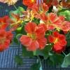Настурція: хороша і для саду, і для салату