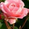 Нюхаючи троянди, можна вчитися уві сні