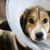 Набряк диска зорового нерва сітківки у собак