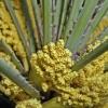 Пальмова пилок: відгуки, застосування, властивості, користь