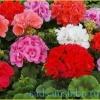Пеларгонія, опис, сорти, фото, умови вирощування, догляд