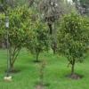 Плодові дерева і чагарники. Плодово-ягідні дерева та чагарники