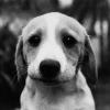 Чому так часто скиглить щеня