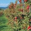 Підпори (чатали) під плодові дерева