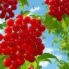Корисні властивості ягоди калини