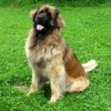 Породи собак: леонбергер