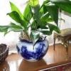 Різновиди кімнатних рослин