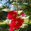 Шток троянда вирощування фото