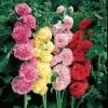 Шток троянда: вирощування і корисні властивості квітки