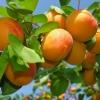 Сорт абрикоса: східно-сибірський