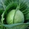 Сорт капусти білокачанної: браді f1
