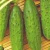 Сорт огірка: динаміт f1