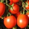 Сорт томата: арлекін f1