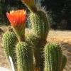Тріхоцереус (trichocereus) - квітучий деревовидний кактус
