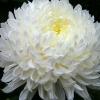 Догляд за хризантемою в домашніх умовах: квіти чистоти і довголіття