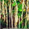 Вигна на дачній ділянці - вирощування і догляд