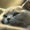 В`язка британських кішок