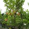 Вибираємо дерева для майбутнього саду