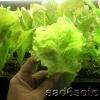 Вирощування листового салату в теплиці