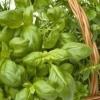 Вирощування зелені в парниках